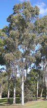 Load image into Gallery viewer, Eucalyptus Tereticornis - Forest Red Gum