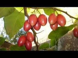 Tree Tomato - Tamarillo