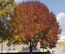 Load image into Gallery viewer, Fraxinus - Pennsylvanica Urbanite