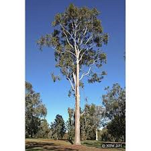 Load image into Gallery viewer, Eucalyptus - Maculata Spotted Gum 25 ltr