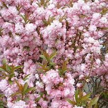 Load image into Gallery viewer, Almond - Flowering double pink