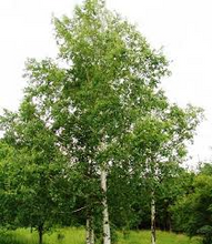 Load image into Gallery viewer, Betula Alba - Silver Birch