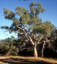 Load image into Gallery viewer, Eucalyptus - Camaldulensis Red River Gum