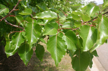 Load image into Gallery viewer, Pyrus Ussuriensis - Manchurian Pear