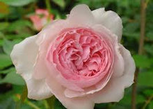 Load image into Gallery viewer, The Wedgwood Rose