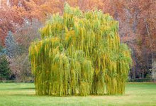 Load image into Gallery viewer, Salix - Weeping Willow 45ltr