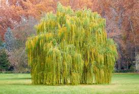 Salix - Weeping Willow 45ltr