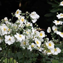 Load image into Gallery viewer, Anemone Wind Flower - Single White 140mm