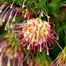 Load image into Gallery viewer, Grevillea - Winpara Gold 140mm