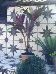Cordyline plant in pot