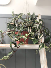 Tradescantia in Pot - faux