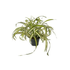 Spider plant in pot - faux