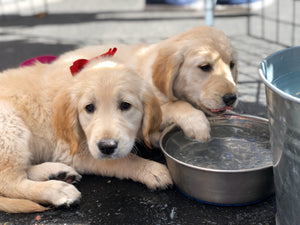 Cute Puppies at a water bowl
