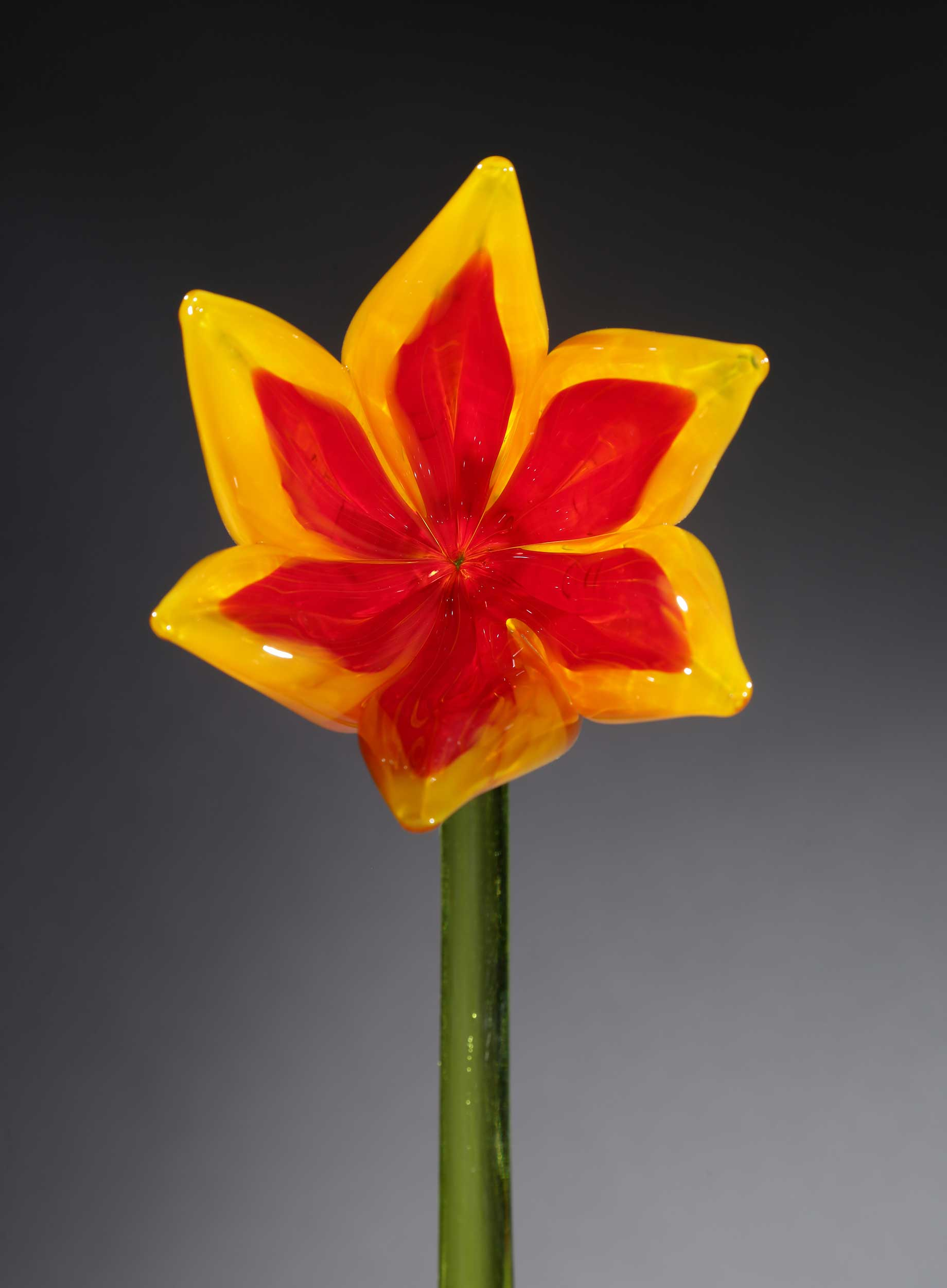 Flower Tulip Yellow Red