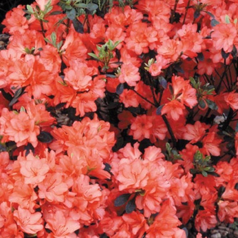 "Crafty Gardens Azalea Japonica Large ""Orange"""