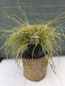 "Crafty Gardens Carex ""Evergold"""