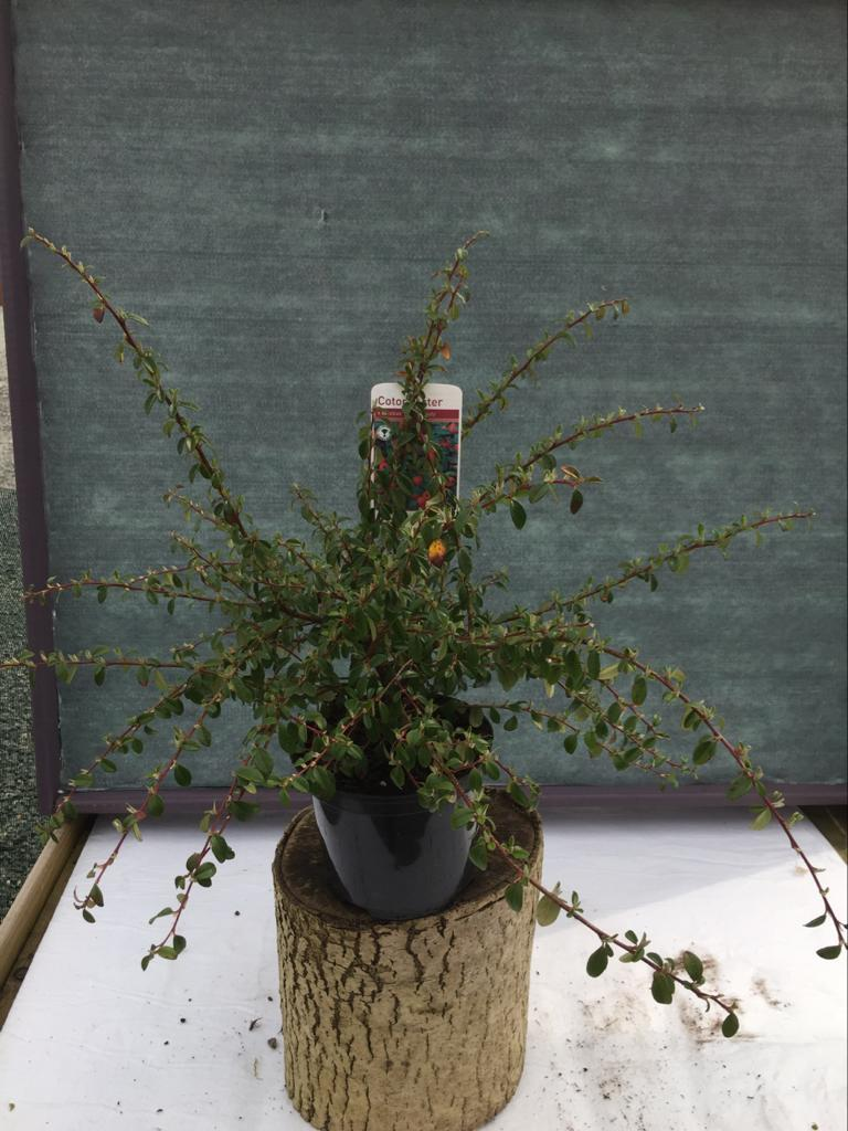 "Crafty Gardens Cotoneaster ""Coral Beauty"""