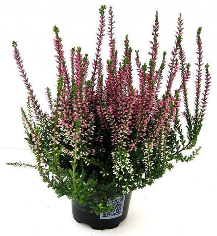 "Crafty Gardens & Drones Stones Heather ""Calluna"""