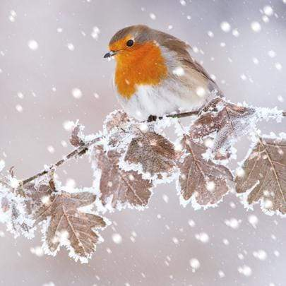 Crafty Gardens & Drones Stones Xmas Packs Robin Christmas Card - Robin 11808A 5021926118087