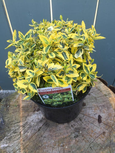"Crafty Gardens Euonymus ""Emerald & Gold"""