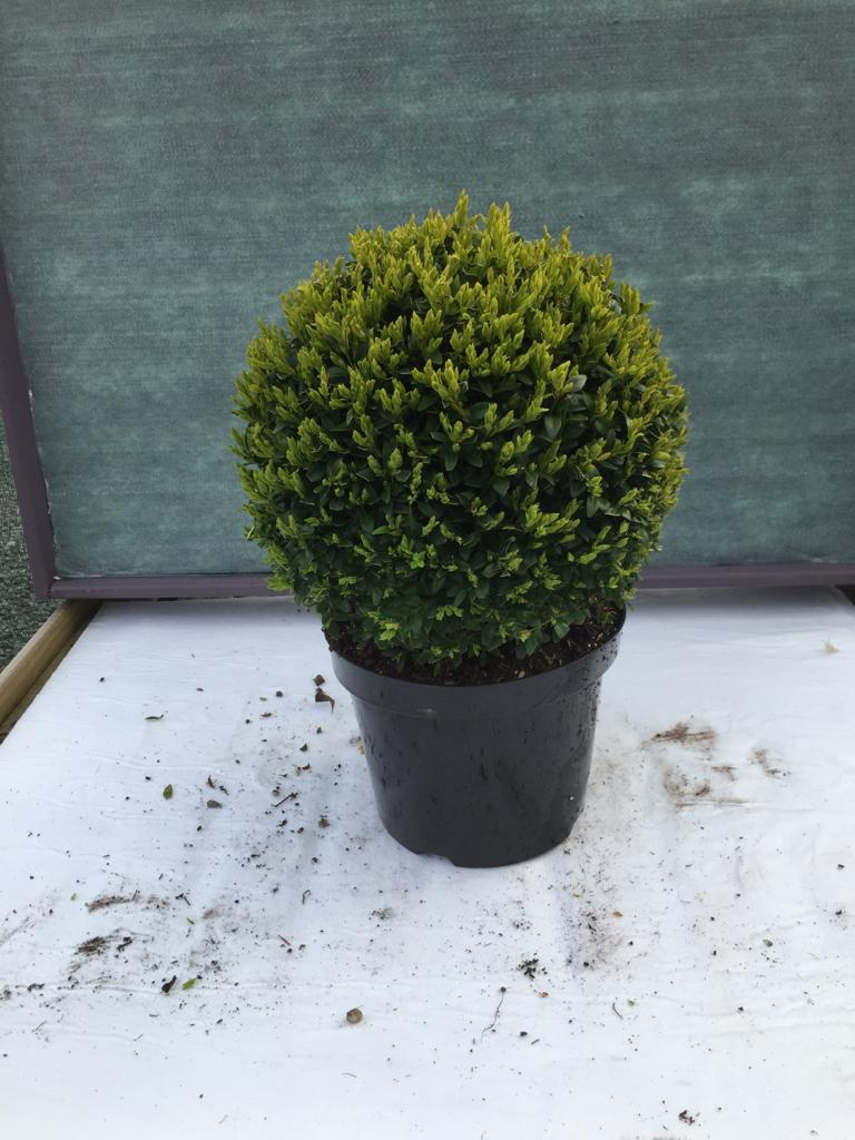 Crafty Gardens Large Round Buxus