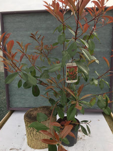 "Crafty Gardens Photinia ""Red Robin"""