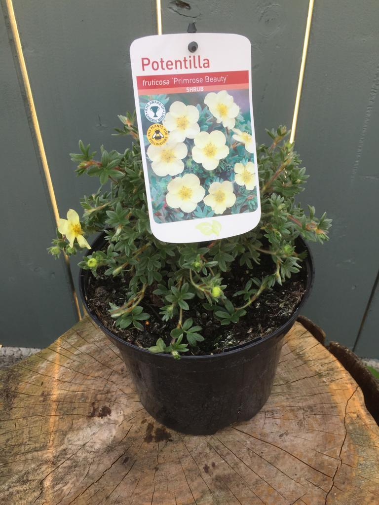 "Crafty Gardens Potentilla ""Primrose Beauty"""