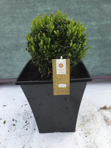 Crafty Gardens Potted Round Buxus