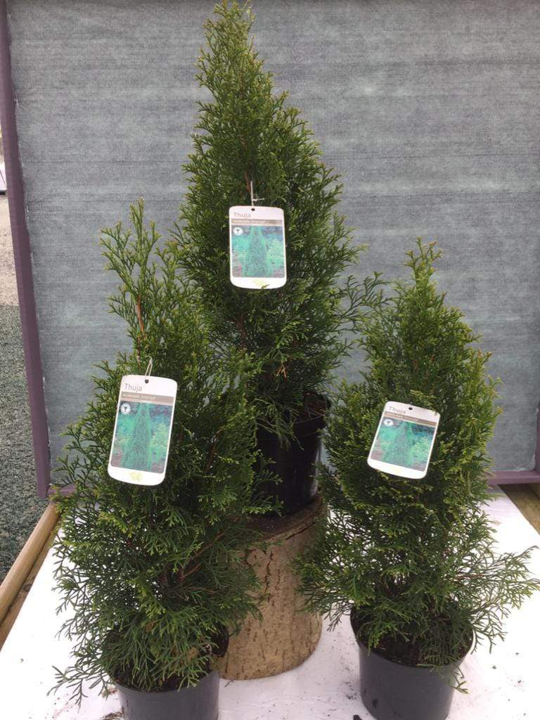 Crafty Gardens Thuja
