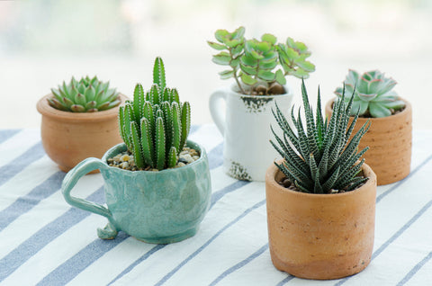 Potted Succulents on Outdoor Table