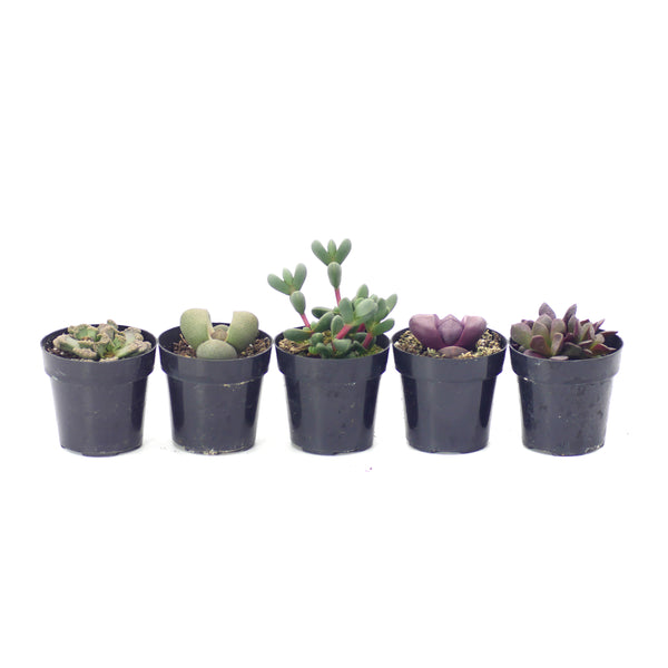 Living Stones Variety - 5 Pack