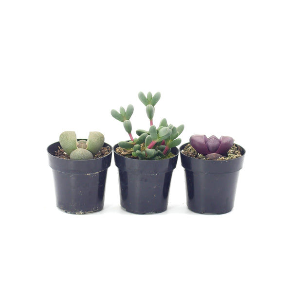 Living Stones Variety - 3 Pack