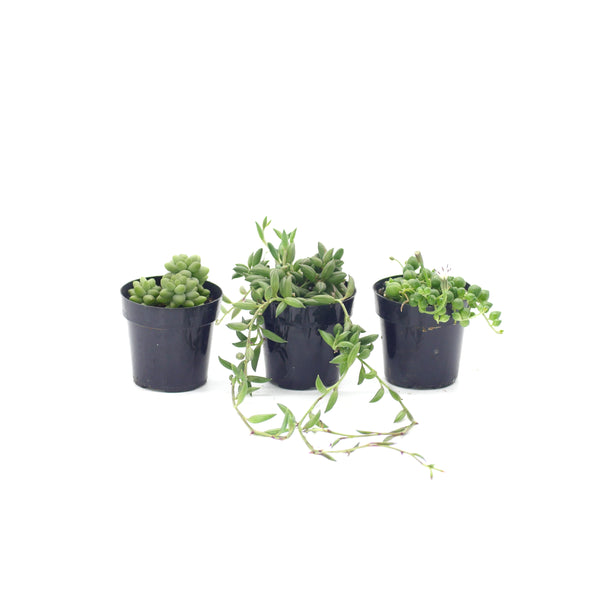 Hanging Plants Variety - 3 Pack