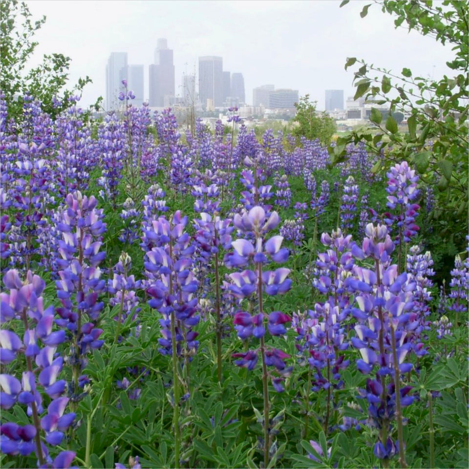 Arroyo or Blue Lupine (Lupinus succulentus) in a park in Los Angeles.