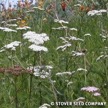 Load image into Gallery viewer, White Yarrow (Achillea millefolium) flowers attract butterflies.