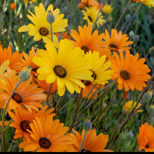 Load image into Gallery viewer, Closeup of African Daisy (Dimorphotheca aurantiaca) flowers.