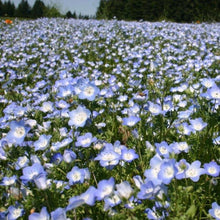 Load image into Gallery viewer, Wildflower Baby Blue Eyes (Nemophila menziesii) in a large field.