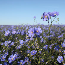 Load image into Gallery viewer, Blue Flax  (Linum lewisii) wildflower closeup in field.