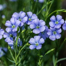 Load image into Gallery viewer, Blue Flax flowers in the garden (Linum lewisii)