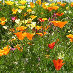 "California Poppy, ""Mission Bells"" Mixed  (Eschscholzia californica)"
