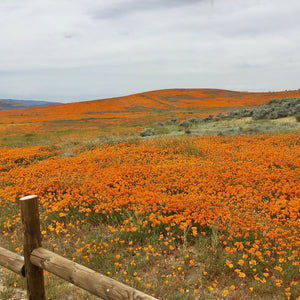 California poppy fields in Lancaster, CA (Eschscholzia californica)