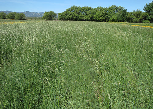 Field of California Brome Grass, Variety Cucamonga (Bromus carinatus 'Cucamonga')
