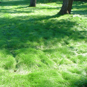 California Native No Mow Grass Seed Mixture in semi shade.