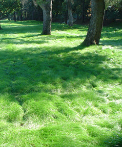 California Native No Mow Grass Seed Mixture in semi shade with large trees.