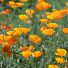 Load image into Gallery viewer, California Poppy  Wildflower (Eschscholzia californica) - a small group of plants.jpg
