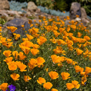 Closeup of a slope with bright orange California Poppies in bloom. So pretty!