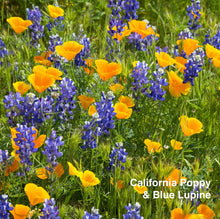 Load image into Gallery viewer, California Poppy & Blue Lupine pictured together.