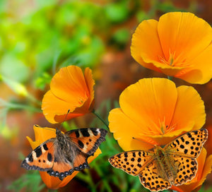 California Poppy (Eschscholzia californica) with butterfly pollinators.