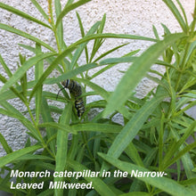 Load image into Gallery viewer, First year planting of Narrow-Leaved Milkweed with a Monarch caterpillar on the plants. Asclepias fascicularis grown from Stover seed.