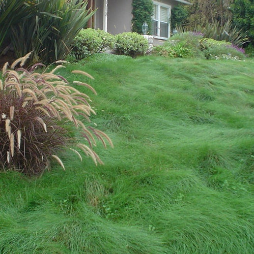 Photo of unmoved mounding plant habit of Celestial Strong Creeping Red Fescue in a front yard.